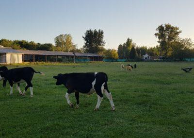 Visita a una Granja Chacra Los Cardales Vacas